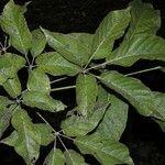 Handroanthus guayacan