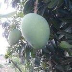 Mangifera indica Fruit