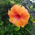 Hibiscus rosa-sinensis Kvet