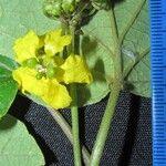 Stigmaphyllon retusum