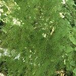 Asparagus scoparius