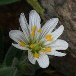 Cerastium pyrenaicum