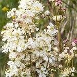 Filipendula vulgaris Õis