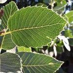 Quercus brantii