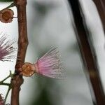 Syzygium cordemoyi