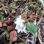 Epigaea repens