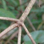 Croton megalocarpus Кора