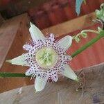 Passiflora adenopoda