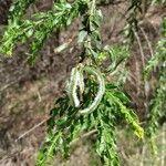 Acacia paradoxa