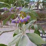 Solanum granuloso-leprosum