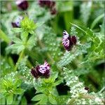Anchusella variegata