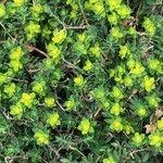 Euphorbia melitensis