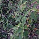 Croton cortesianus