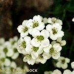 Hormathophylla pyrenaica