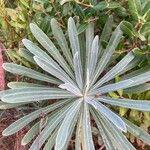 Euphorbia characias Foglia