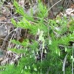 Asparagus tenuifolius