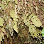 Hymenophyllum hygrometricum