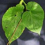 Piper fimbriulatum