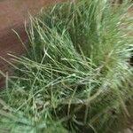 Agrostis mertensii