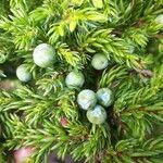 Juniperus brevifolia