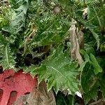 Carduus australis