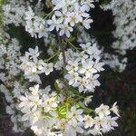 Hormathophylla