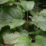 Piper evasum
