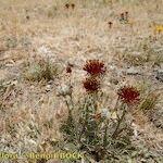 Centaurea pubescens