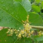 Guazuma ulmifolia Kvet
