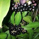 Ardisia elliptica Fruit