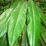 Philodendron cretosum