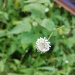 Melanthera nivea