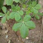 Cleome gynandra Leaf