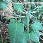 Solanum dulcamara Blad