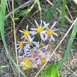 Galatella sedifolia Blomma