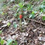 Arum cylindraceum