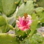 Opuntia triacantha