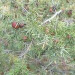 Juniperus oxycedrus Leaf