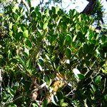 Alyxia hurlimannii