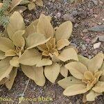 Verbascum tetrandrum