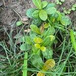Ixora coccinea Leaf
