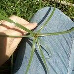 Cyperus aromaticus