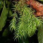Phlegmariurus linifolius