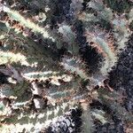 Euphorbia coerulans