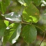 Lonchocarpus michelianus