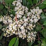 Photinia serratifolia