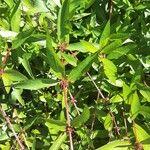 Decodon verticillatus 葉