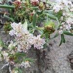 Echinophora spinosa