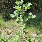 Quercus pubescens Hoja