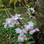 Prunus subhirtella